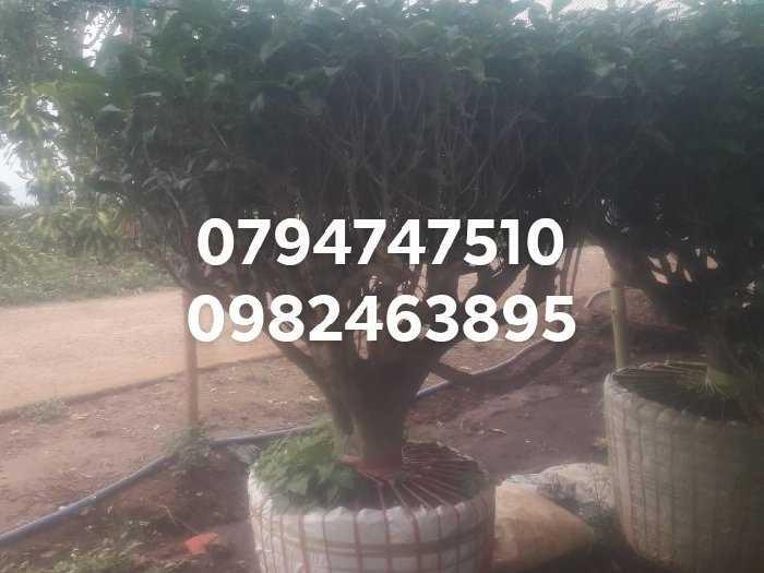 Gốc chè xanh cổ thụ 07947475101