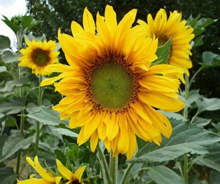 Hạt giống hoa hướng dương Trang Nông0