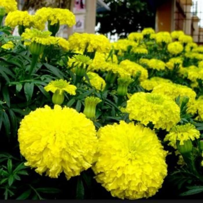 Hạt giống hoa vạn thọ vàng chanh Trang Nông0