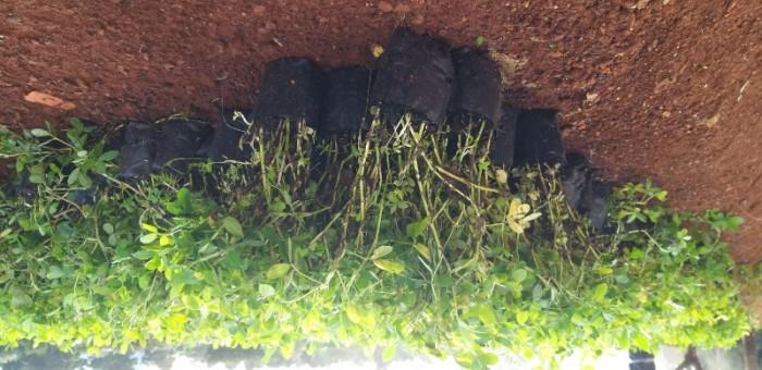 Cỏ lạc cỏ trồng công viên