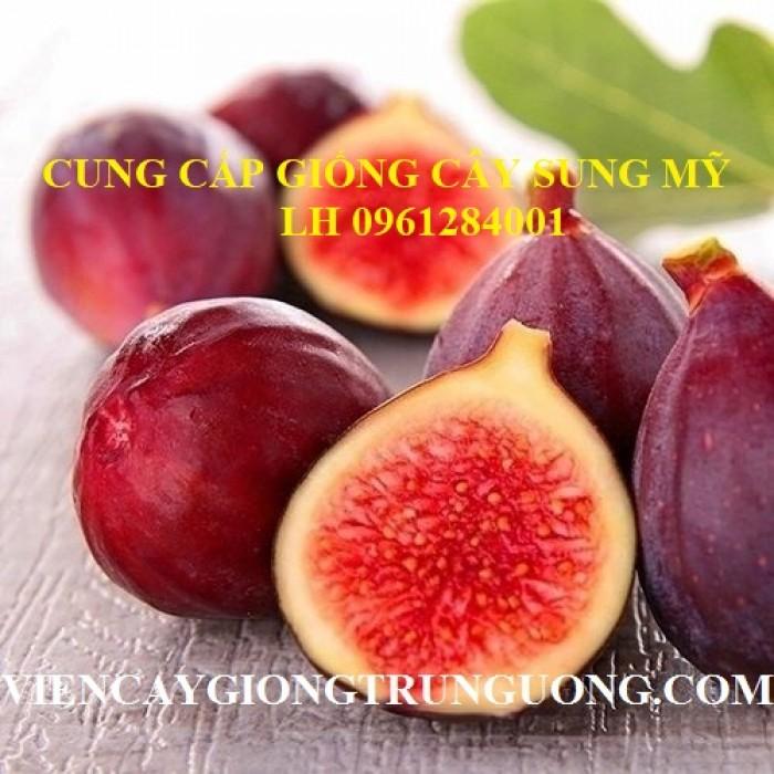 Địa chỉ uy tín cung cấp giống cây sung mỹ, sung ngọt - viencaygiongtrunguong0