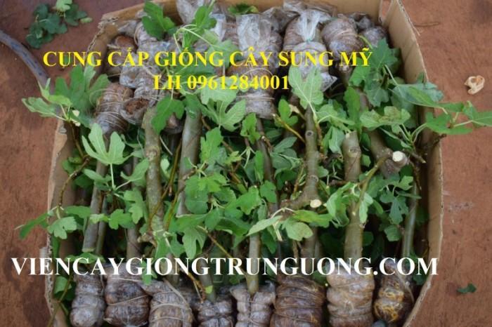 Địa chỉ uy tín cung cấp giống cây sung mỹ, sung ngọt - viencaygiongtrunguong1