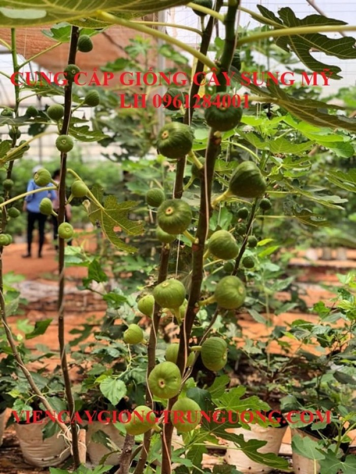 Địa chỉ uy tín cung cấp giống cây sung mỹ, sung ngọt - viencaygiongtrunguong10