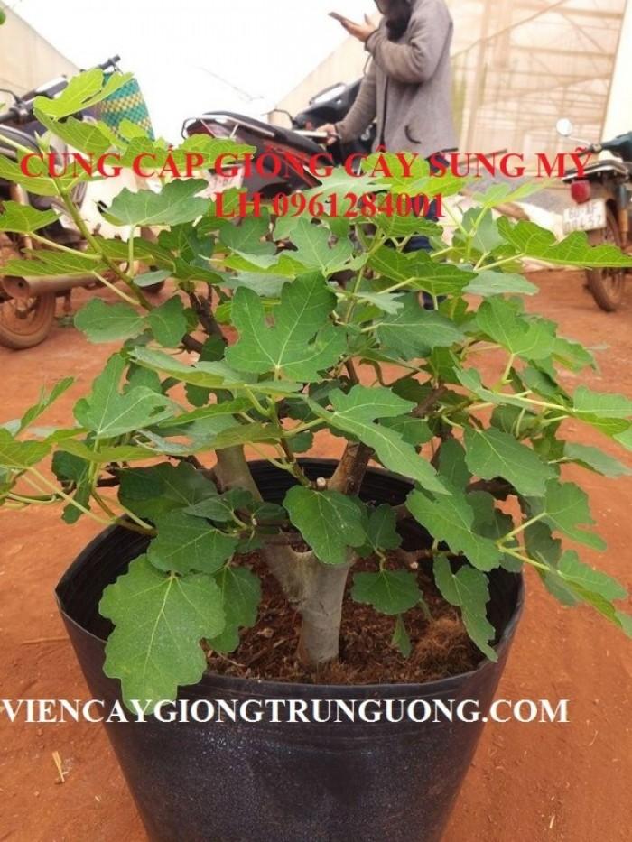Địa chỉ uy tín cung cấp giống cây sung mỹ, sung ngọt - viencaygiongtrunguong11