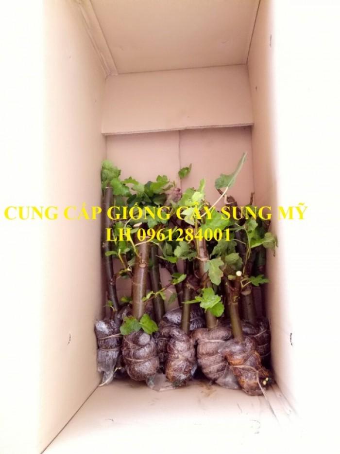 Địa chỉ uy tín cung cấp giống cây sung mỹ, sung ngọt - viencaygiongtrunguong7