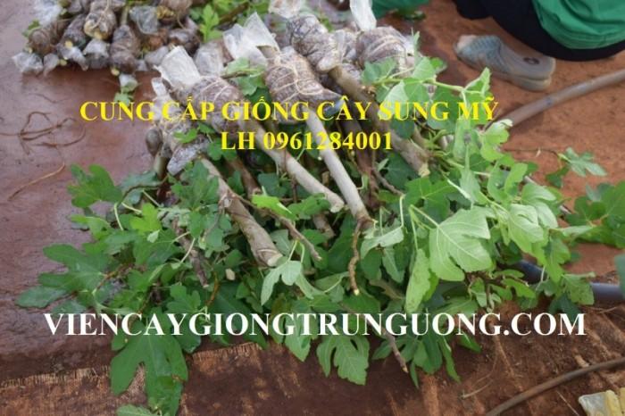 Địa chỉ uy tín cung cấp giống cây sung mỹ, sung ngọt - viencaygiongtrunguong2