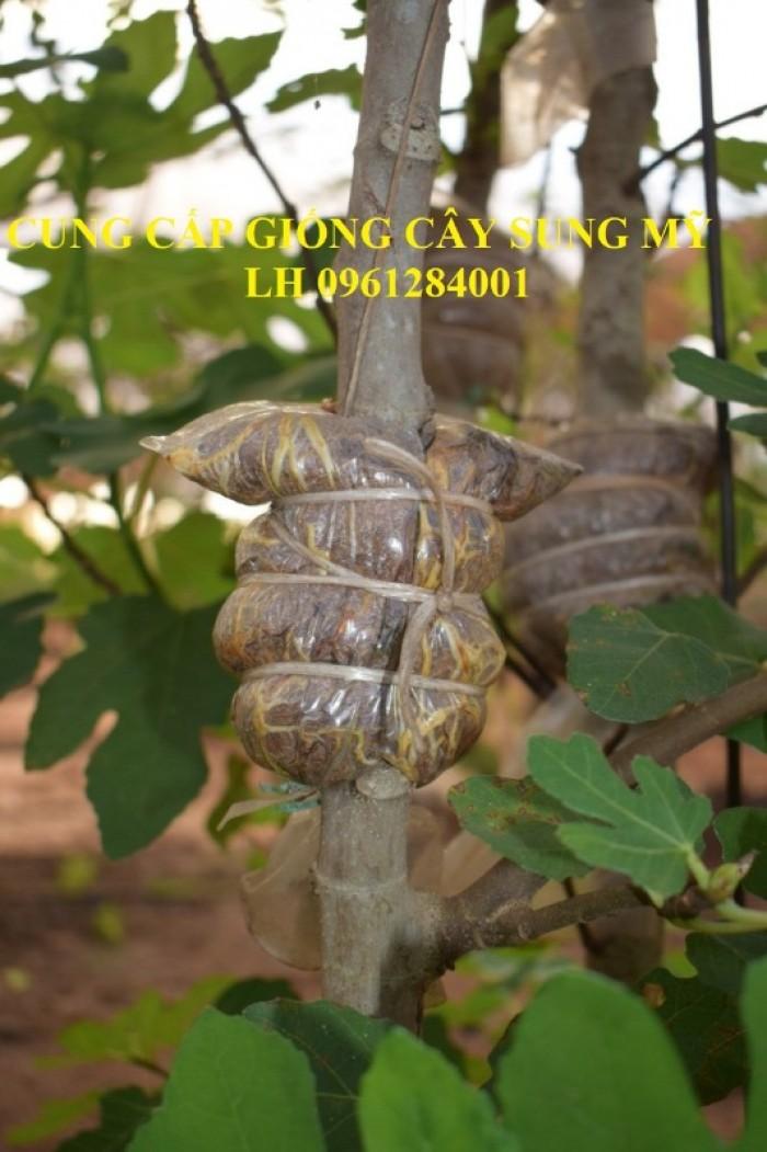 Địa chỉ uy tín cung cấp giống cây sung mỹ, sung ngọt - viencaygiongtrunguong13