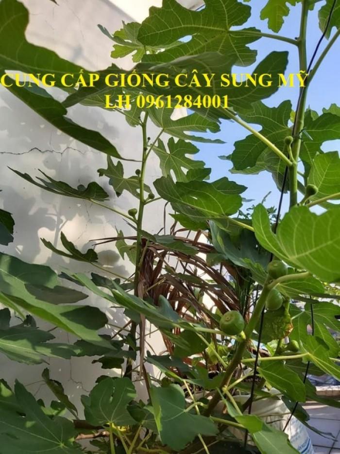 Địa chỉ uy tín cung cấp giống cây sung mỹ, sung ngọt - viencaygiongtrunguong9