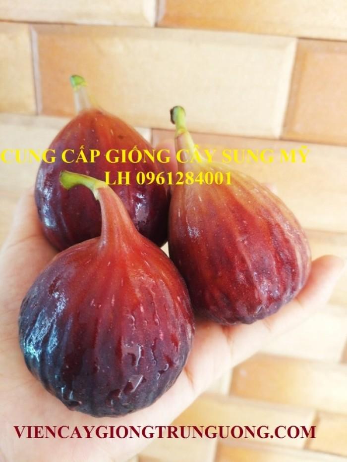 Địa chỉ uy tín cung cấp giống cây sung mỹ, sung ngọt - viencaygiongtrunguong17
