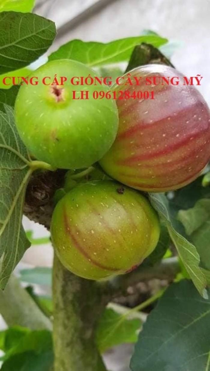 Địa chỉ uy tín cung cấp giống cây sung mỹ, sung ngọt - viencaygiongtrunguong18