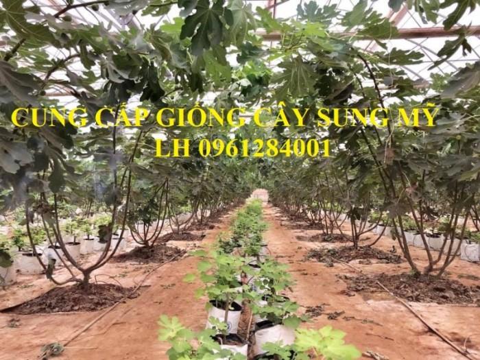 Địa chỉ uy tín cung cấp giống cây sung mỹ, sung ngọt - viencaygiongtrunguong4