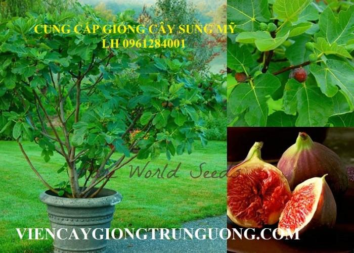 Địa chỉ uy tín cung cấp giống cây sung mỹ, sung ngọt - viencaygiongtrunguong3