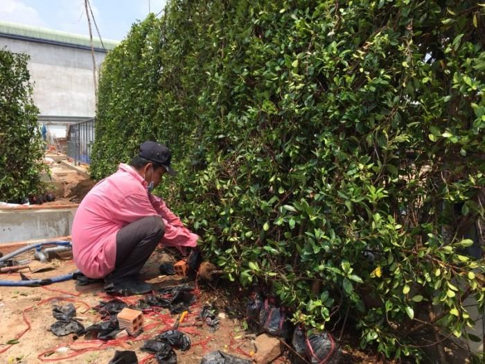 Hàng rào cây xanh tường cây xanh3