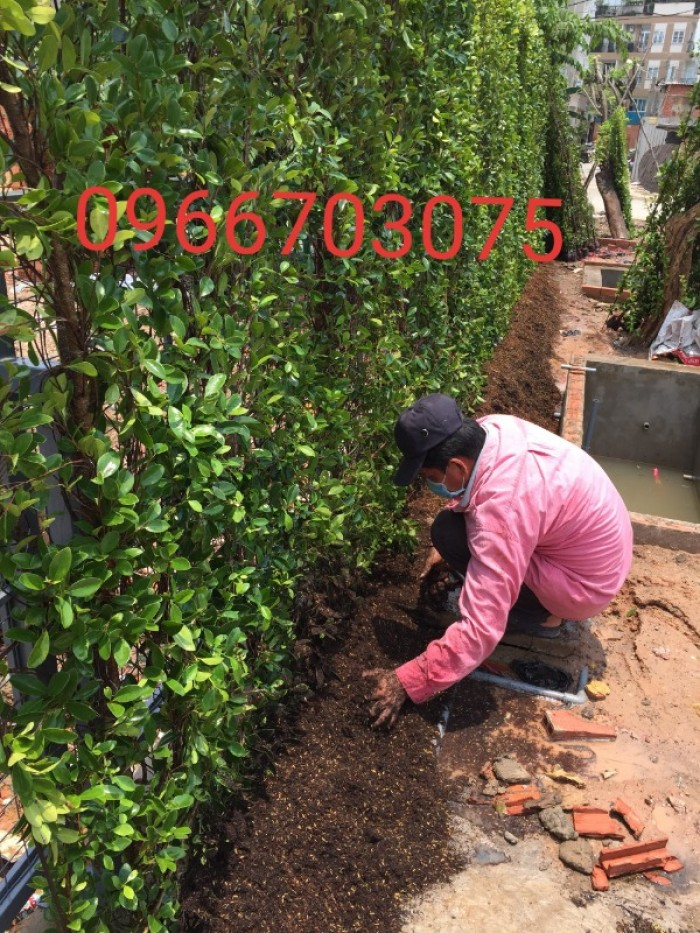 Hàng rào cây xanh tường cây xanh4