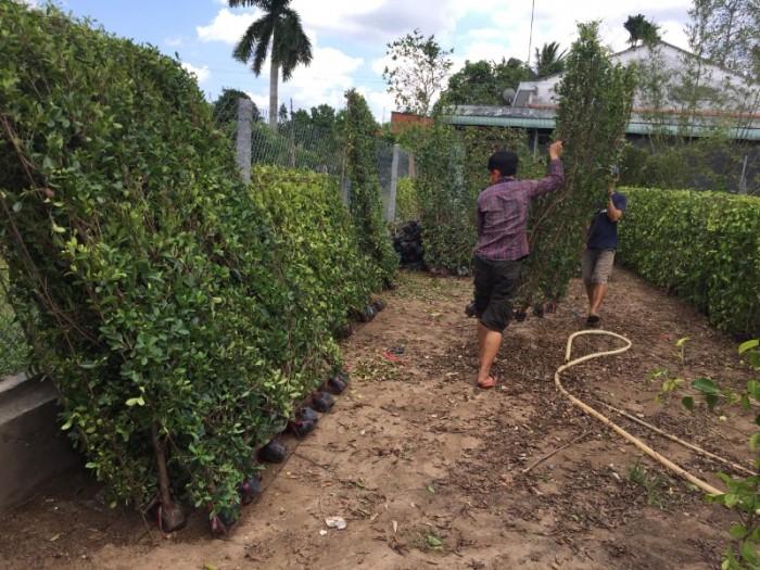 Hàng rào cây xanh tường cây xanh6