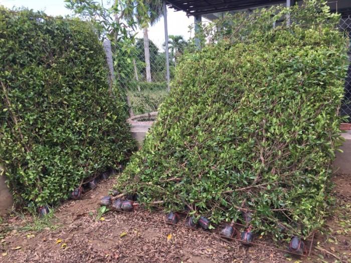 Hàng rào cây xanh tường cây xanh10