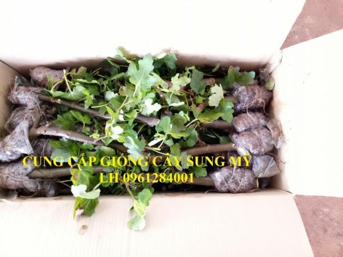 Cây giống sung mỹ, sung ngọt, sung đường, cây vả, cây nhập khẩu, chất lượng cao12