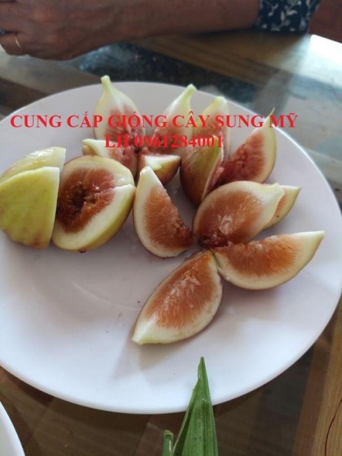 Cây giống sung mỹ, sung ngọt, sung đường, cây vả, cây nhập khẩu, chất lượng cao19