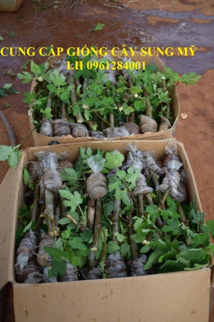 Cây giống sung mỹ, sung ngọt, sung đường, cây vả, cây nhập khẩu, chất lượng cao17