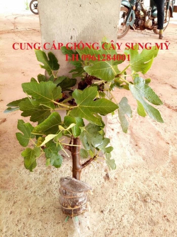 Cây giống sung mỹ, sung ngọt, sung đường, cây vả, cây nhập khẩu, chất lượng cao20