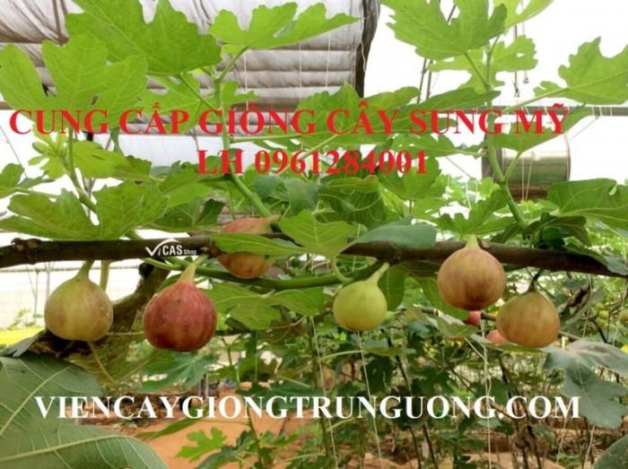 Cây giống sung mỹ, sung ngọt, sung đường, cây vả, cây nhập khẩu, chất lượng cao13