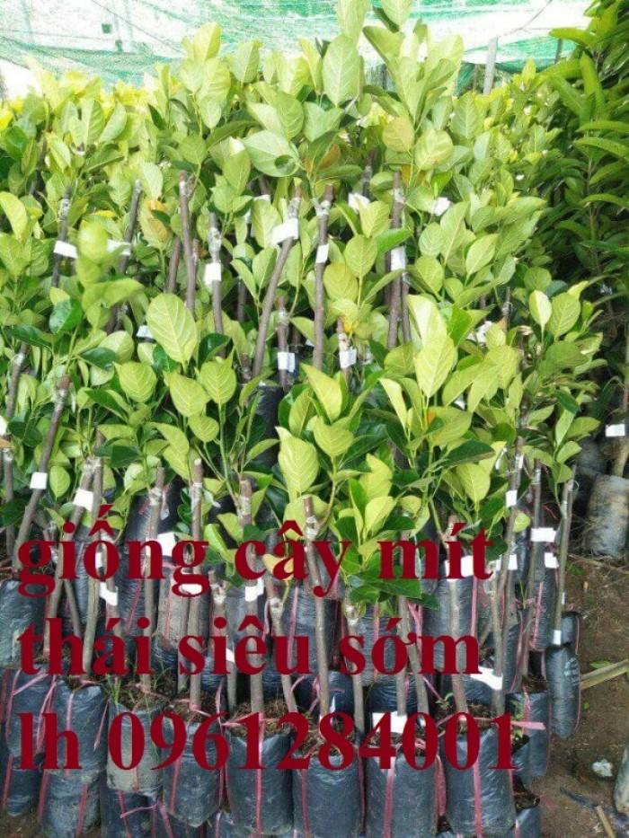 Bán cây giống mít thái siêu sớm, mít tứ quý, số lượng lớn, giao cây toàn quốc.11
