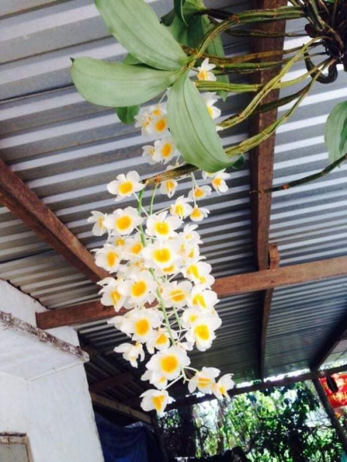 Phong lan rừng ,phong lan trai trâu bán nguyên vườn 200 giò lan rừng tự nhiên1