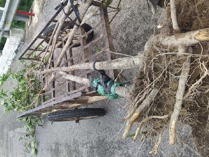 Cần bán bông trang mới trên rừng về1