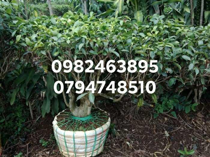 Cây chè xanh cổ thụ - cây chè  bon sai trồng chậu, kiểng cảnh1