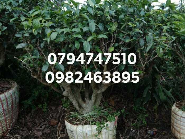 Cây chè xanh cổ thụ - cây chè  bon sai trồng chậu, kiểng cảnh2