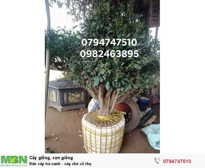 Bán cây trà xanh - cây chè cổ thụ 079 4747 510  Vườn nhà Ngọc Trà Xanh Tóc Dài - Bảo Lộc Lâm Đồng2
