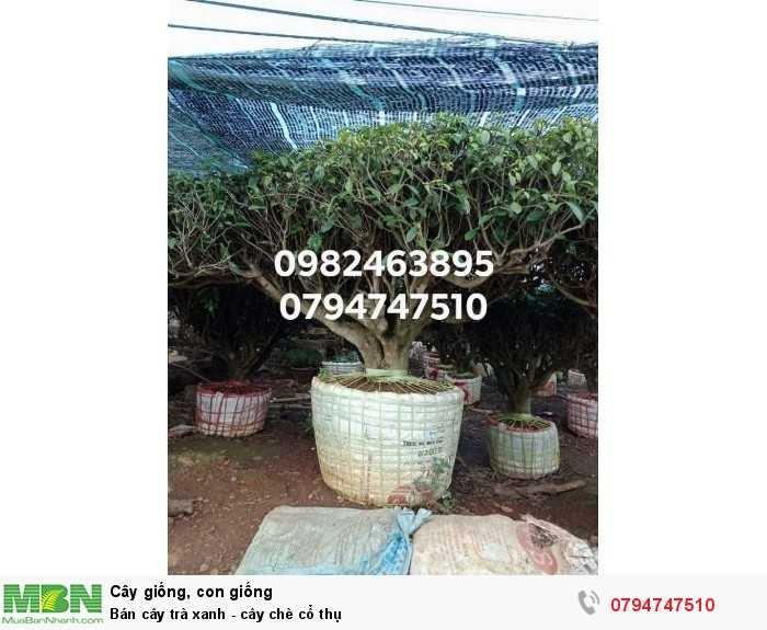 Bán cây trà xanh - cây chè cổ thụ 079 4747 510  Vườn nhà Ngọc Trà Xanh Tóc Dài - Bảo Lộc Lâm Đồng3