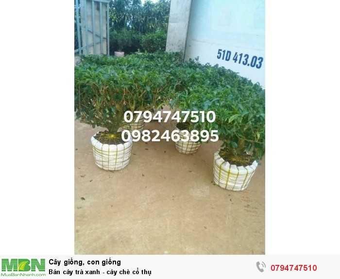 Bán cây trà xanh - cây chè cổ thụ 079 4747 510  Vườn nhà Ngọc Trà Xanh Tóc Dài - Bảo Lộc Lâm Đồng0