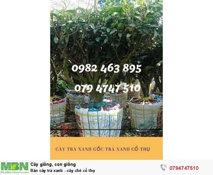 Bán cây trà xanh - cây chè cổ thụ 079 4747 510  Vườn nhà Ngọc Trà Xanh Tóc Dài - Bảo Lộc Lâm Đồng1