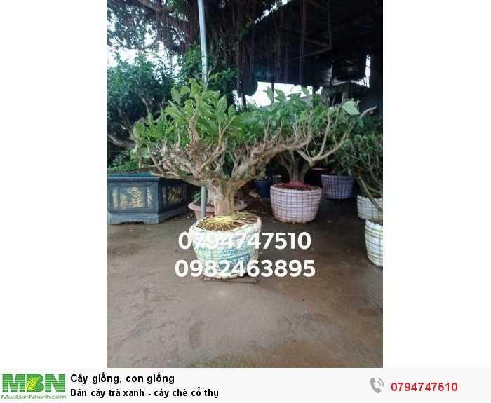 Bán cây trà xanh - cây chè cổ thụ 079 4747 510  Vườn nhà Ngọc Trà Xanh Tóc Dài - Bảo Lộc Lâm Đồng4
