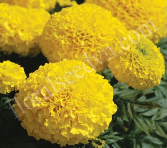 Hạt giống hoa vạn thọ bông to 12cm nhập khẩu Nga0