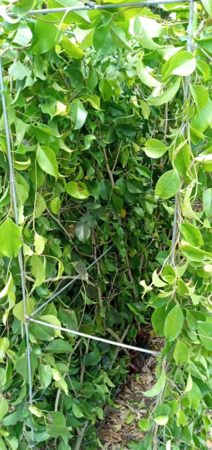 Tường cây xanh cây si gừa tàu các loại1