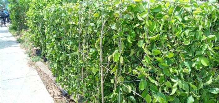 Tường cây xanh cây si gừa tàu các loại2