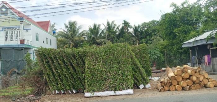 Tường cây xanh cây si gừa tàu các loại3