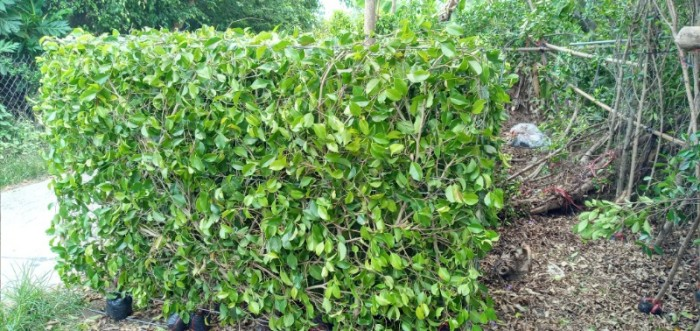 Tường cây xanh cây si gừa tàu các loại4