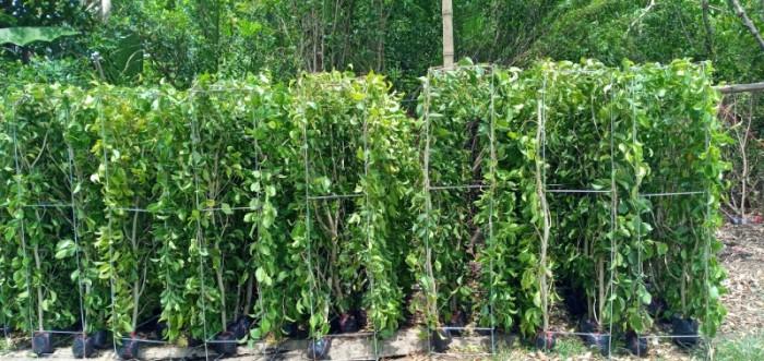 Tường cây xanh cây si gừa tàu các loại5