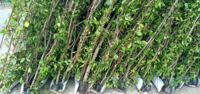 Tường cây xanh cây si gừa tàu các loại6