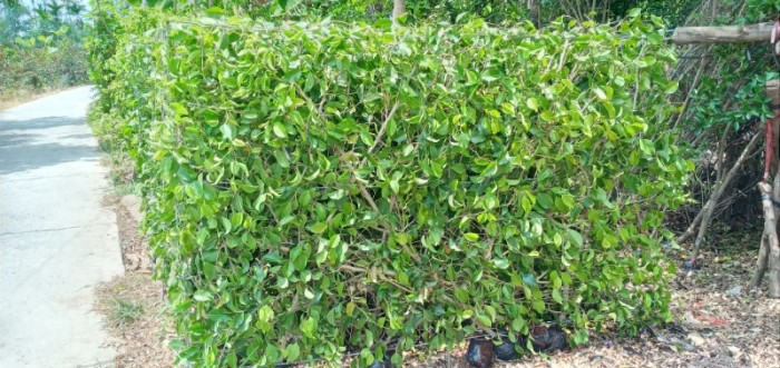 Tường cây xanh cây si gừa tàu các loại8