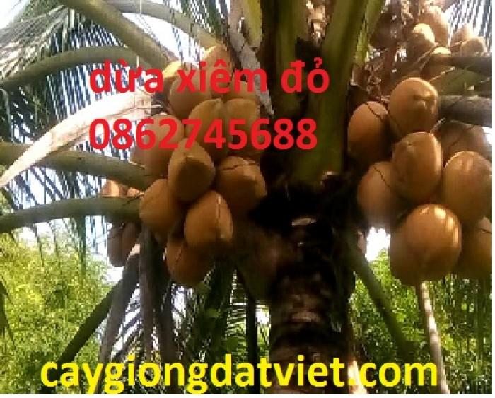 Dừa xiêm lùn đỏ cây giống chuẩn F10