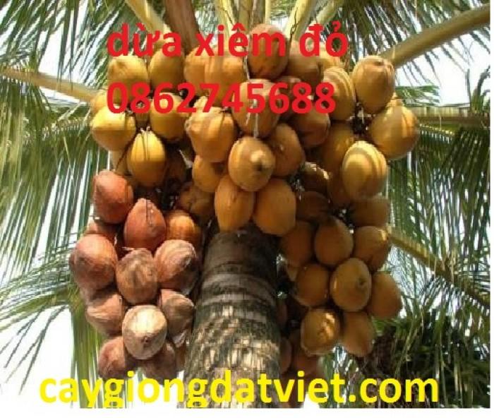 Dừa xiêm lùn đỏ cây giống chuẩn F12