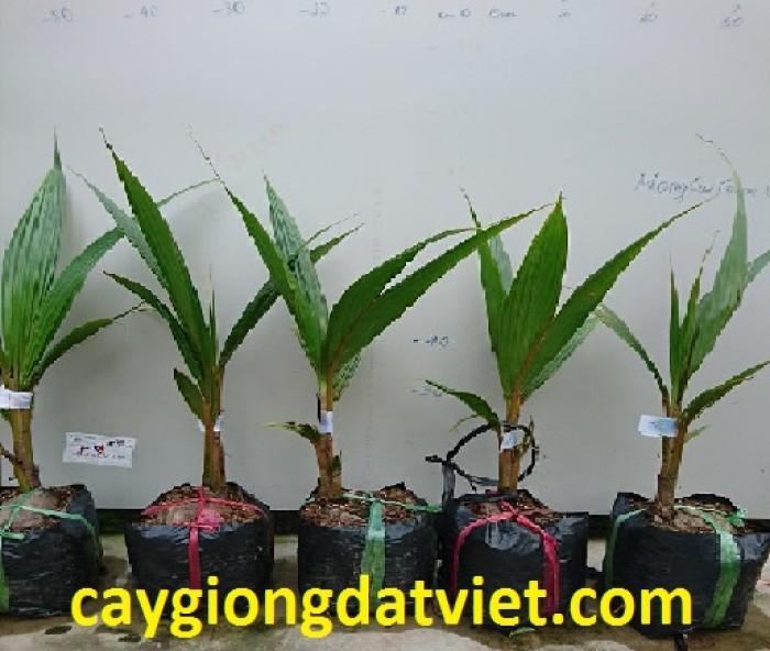 Dừa xiêm lùn đỏ cây giống chuẩn F13