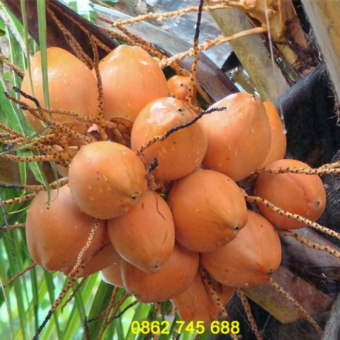 Dừa xiêm lùn đỏ cây giống chuẩn F16