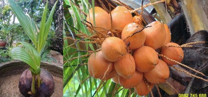 Dừa xiêm lùn đỏ cây giống chuẩn F15