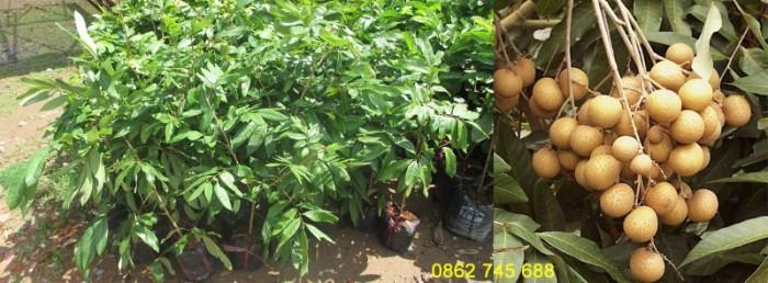 Nhãn tiêu Da Bò cây giống F11