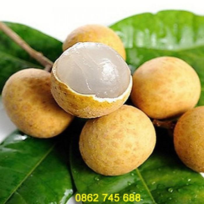 Nhãn Hương Chi cây giống F12